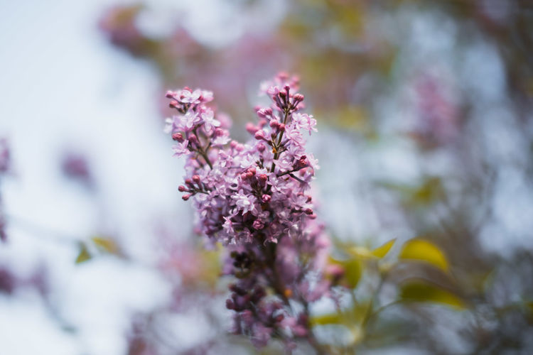 Beauty In Nature Blossom Botany Cherry Blossom Close-up Day Flower Flower Head Flowering Plant Focus On Foreground Fragility Freshness Growth Lilac Nature No People Outdoors Pink Color Plant Purple Selective Focus Springtime Tree Vulnerability