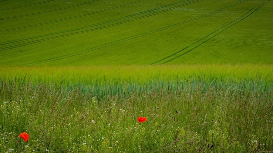 Field Landscape Environment Plant Beauty In Nature Growth Land Rural Scene Nature Agriculture Green Color Tranquil Scene Tranquility No People Freshness Scenics - Nature Crop  Flower Red Food And Drink