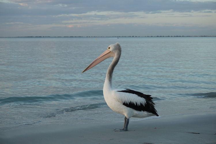 Gray heron on sea against sky