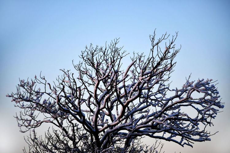 Sky Tree Plant Clear Sky Low Angle View Branch Nature No People Growth Beauty In Nature Day Bare Tree Tranquility Outdoors Cold Temperature Winter Snow Blue Copy Space Close-up Winter