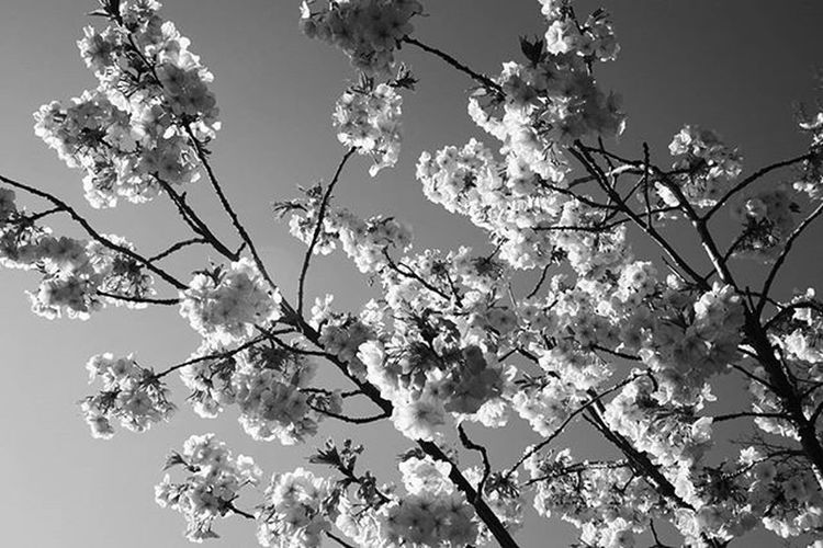henrycatling.com Photography Igers Nature Cherryblossom Sky Spring England Morning Cool Peace Surrey Ig_nature Tree Love Happy Naturelovers Blossom Outdoors Life Uk Pic POTD Picoftheday Ig_capture Sony sweet blackandwhite beauty awesome