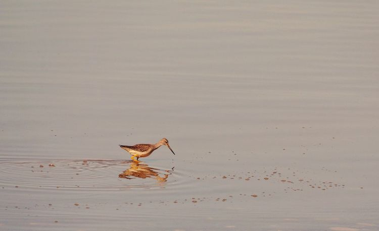 Bird hunting Shore Lake Wyoming Wildlife Long Billed Dowitcher Wyoming Wyoming Landscape Animal Animal Themes Animal Wildlife Bird One Animal Vertebrate Animals In The Wild No People Nature Copy Space Outdoors Day Water Full Length Side View Environment