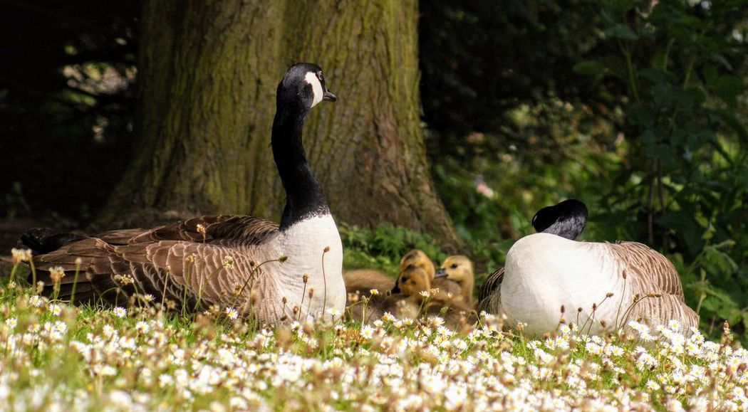 Animal Animal Family Animal Themes Animal Wildlife Animals In The Wild Bird Cygnet Day Goose Gosling Grass Group Of Animals Land Nature No People Outdoors Plant Selective Focus Togetherness Tree Vertebrate Young Animal Young Bird