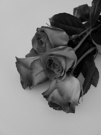 Rose - Flower Flower Petal Flower Head Fragility No People Beauty In Nature Garden Grow Stem Indoors  Freshness Studio Shot Close-up Nature Flower Photography Plant Black And White Roses🌹 Thorns