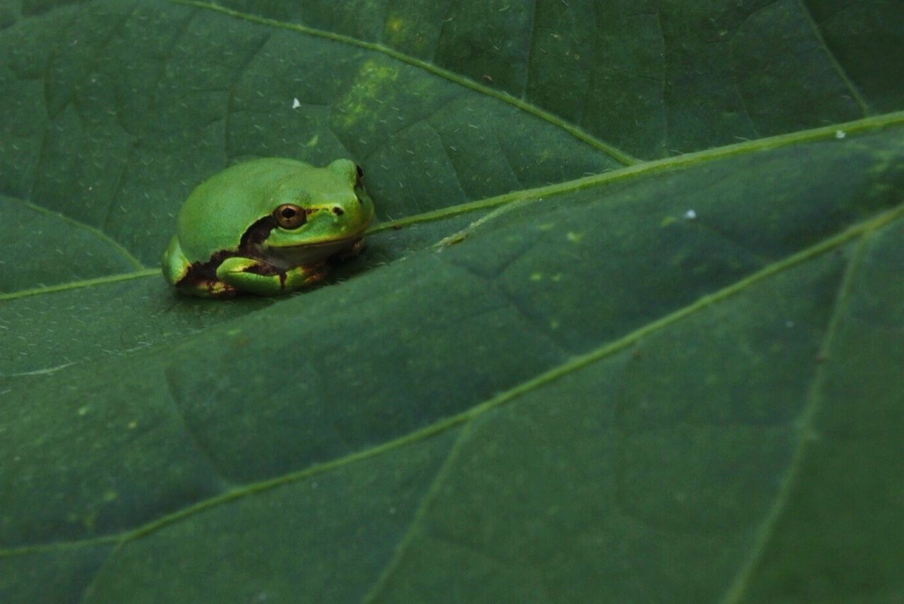 High Angle View Of Green Frog On Leaf