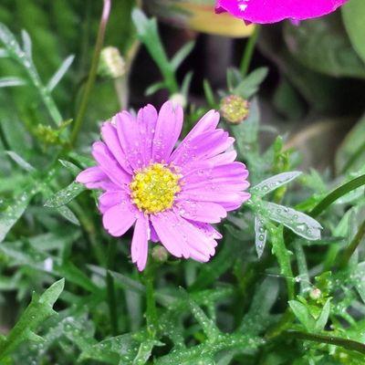 Daisy Oregon Gardening Flowers picoftheday dew