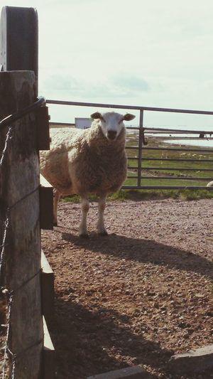 Schaf auf dem
