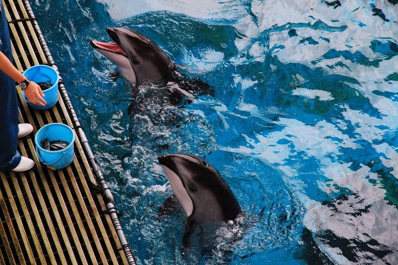 Low section of caretaker feeding dolphins at aquarium