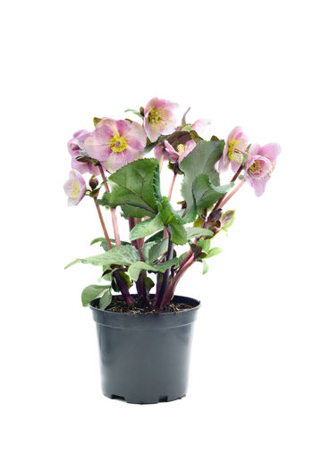 potted pink dotted hellebore flower on white isolated background. Hellebores Helleborus Helleborus Foetidus Helleborus Niger Close-up Flower Freshness Growth Hellebore Leaf Nature Plant Potted Plant Studio Shot White Background