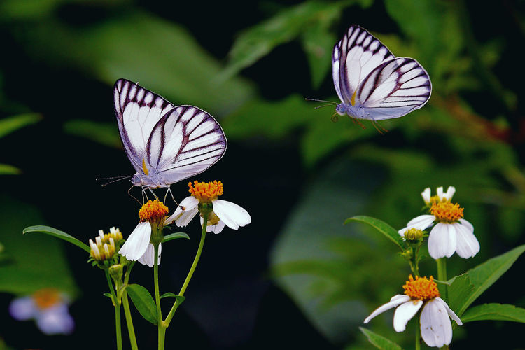 Lovely Butterflies flying towards flower Flowers Moths Plants Blooming Flower Blossom Entomology Zoology Life Miracle Butterfly Butterflies Fragility No People Flower Head Freshness Animal Themes Animal Wildlife Beauty In Nature Spread Wings Outdoors One Animal Close-up