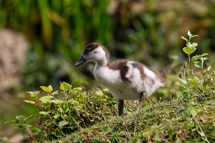 Egyptian Gosling Animal Themes Beauty In Nature Bird Close-up Day Focus On Foreground Grass Green Color Growth Nature No People Outdoors Plant Selective Focus Wildlife