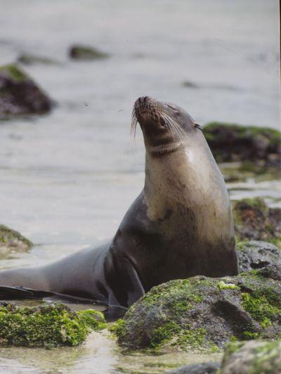 Sunbath Galapagos Sea Lion Animals In The Wild Rock - Object Animal Wildlife Animal Themes Aquatic Mammal Seal - Animal Sea Lion Day Outdoors One Animal Nature No People Mammal Water Sea Sea Life Close-up An Eye For Travel