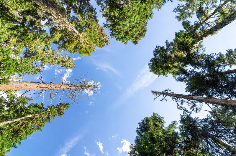Looking up at towering pine trees Background Branch Branches Brown Cone Conifer  Coniferous Day Detail Evergreen Fir Forest Fresh Leaft Nature Needle Needles Oregon Outdoors Pine Plant Season  Spruce Tree Wood