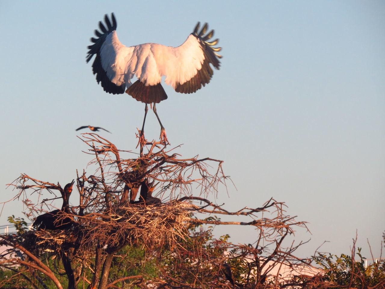 Low Angle View Of Wood Stork Against Clear Sky
