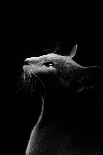 my cat, sitting under our table lamp Profile Black Background Cat Close-up Eyes Feline Kitten Mammal One Animal Russian Blue Studio Shot Whisker