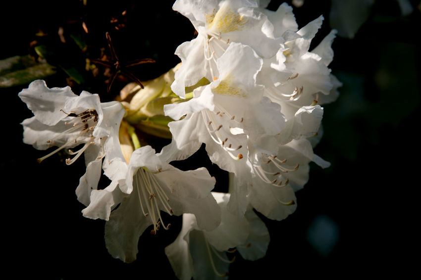 Beauty In Nature Blossom Close-up Flower Flower Head Flowering Plant Fragility Freshness Growth Nature No People Outdoors Plant Springtime White Color