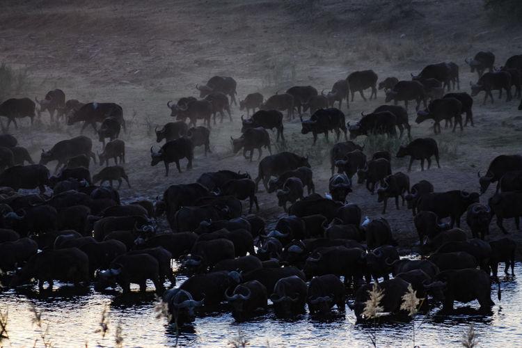 Group Of Buffalos In Lake