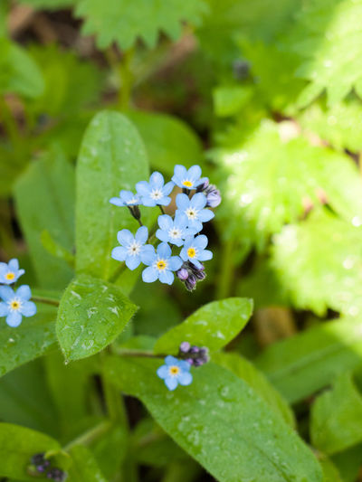 High angle view of forget-me-not flowers growing on plants
