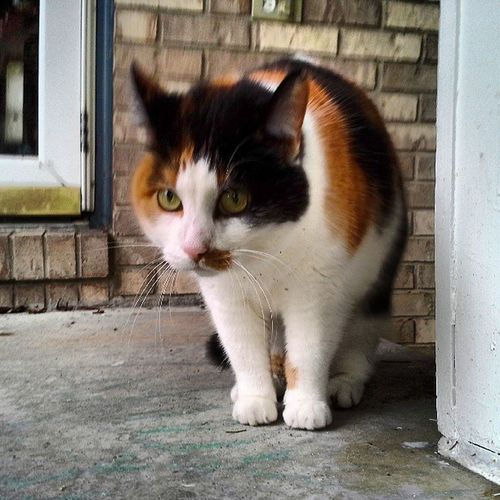 Cat Kitty Pet Kitten Calico Kitties Ilovemycat Catsofinstagram Catoftheday Instacat Petsofinstagram Petoftheday Nodogsallowed Dailycat Dailykitten Kittenoftheday Cat_diary