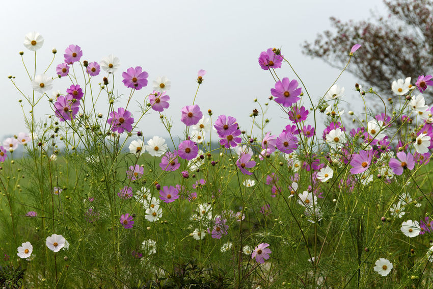 cosmos flower at Hakwon Farm in Gochang, Jeonbuk, South Korea Autumn Cosmos Flower Autumn Flower Beauty In Nature Blooming Close-up Day Flower Flower Head Fragility Freshness Gochang Grass Growth Hakwon Farm Nature No People Outdoors Petal Pink Color Plant Sky