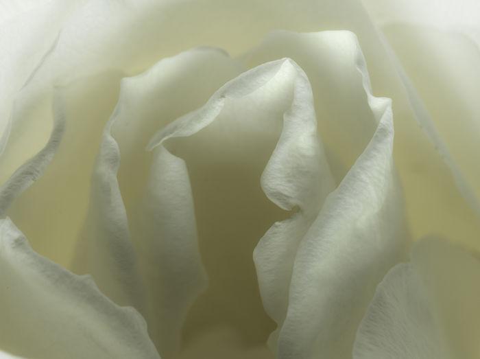 kiss from a rose 2 Rosé Macro Close-up Flower Petal Still Life Studio Shot Yellow Rose Backgrounds Textured  Close-up Abstract Backgrounds Textured Effect Focus Flower Head Uneven Single Flower