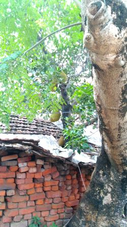Jackfruits Are Hanging