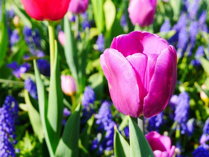 tulip Flower Head Flower Petal Purple Close-up Plant