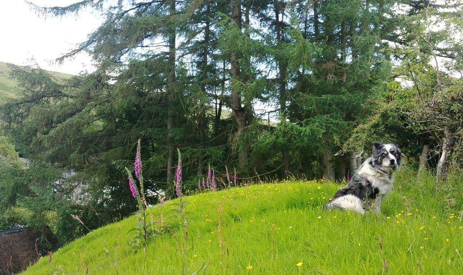 Tom & Foxgloves ... Dog Sheepdog Trees Farm Wales Flowers Countryside Rural Hills Summer собака овчарка наперстянка деревня Grass