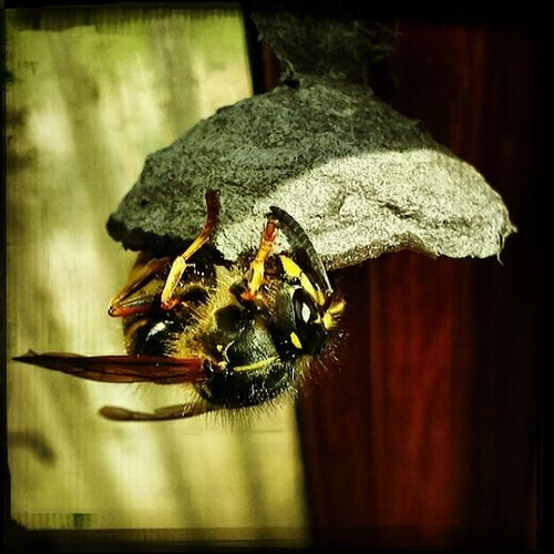 Wasp Building Macroclique Insect