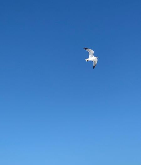 Flying Blue Bird Sky Clear Sky Animal Copy Space Vertebrate Animals In The Wild Low Angle View Animal Wildlife Animal Themes One Animal No People Nature Outdoors Day Air Vehicle Mid-air Spread Wings