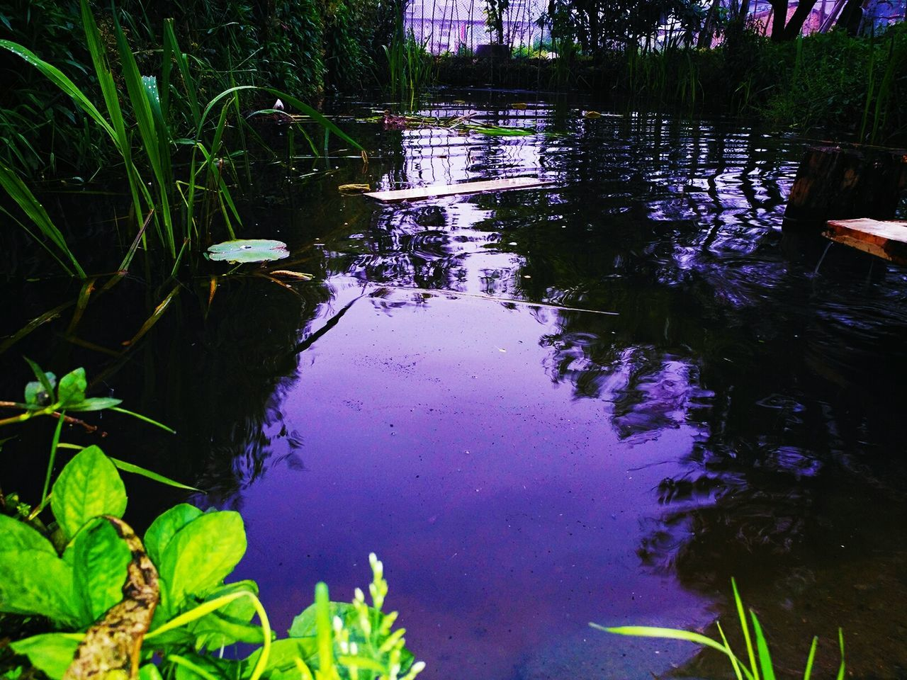 water, reflection, nature, growth, plant, outdoors, lake, floating on water, tranquility, animal themes, day, beauty in nature, water plant, no people, animals in the wild, leaf, water lily, grass, lily pad, tree, swimming
