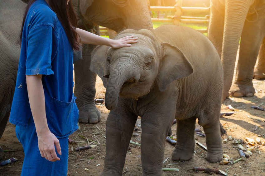 Mammal Vertebrate Real People One Animal Standing Elephant One Person Lifestyles Adult Women Day Young Animal Midsection Animal Trunk Care Baby Love Wildlife Friendship Outdoors Thailand Asian Elephant ASIA Conservation