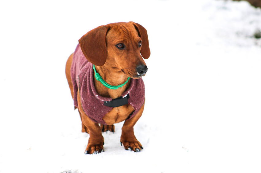 Animal Themes Coat Dachshund Day Dog Dog Coat Domestic Animals Mammal Nature No People One Animal Outdoors Pet Clothing Pets Studio Shot White Background