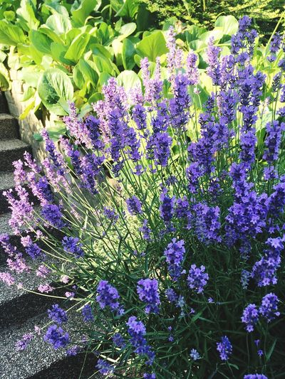 Lavander Growth Plant Flowering Plant Purple Flower Beauty In Nature Fragility No People Close-up Blossom