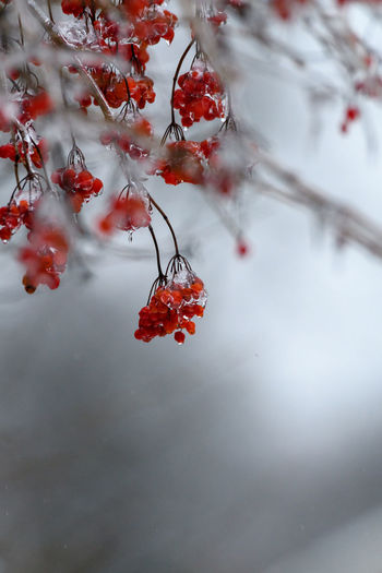Frozen red berries on branches during winter