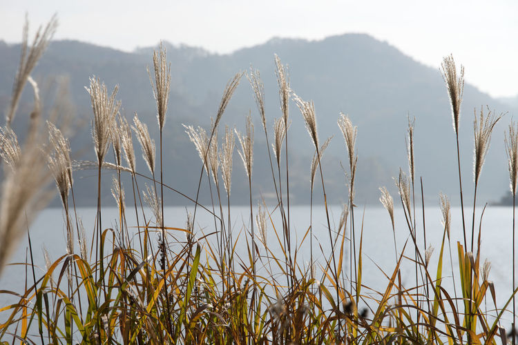 autumn landscape of Busodamak, a beautiful lake located in Okcheon, Chungbuk, South Korea Autumn Busodamak Morning Silver Grass Autumn Lake Beauty In Nature Close-up Day Field Grass Growth In The Morning Lake Lake In The Morning Lake View Morning Lake Nature No People Outdoors Plant Scenics Silvergrass Sky Tranquil Scene Tranquility