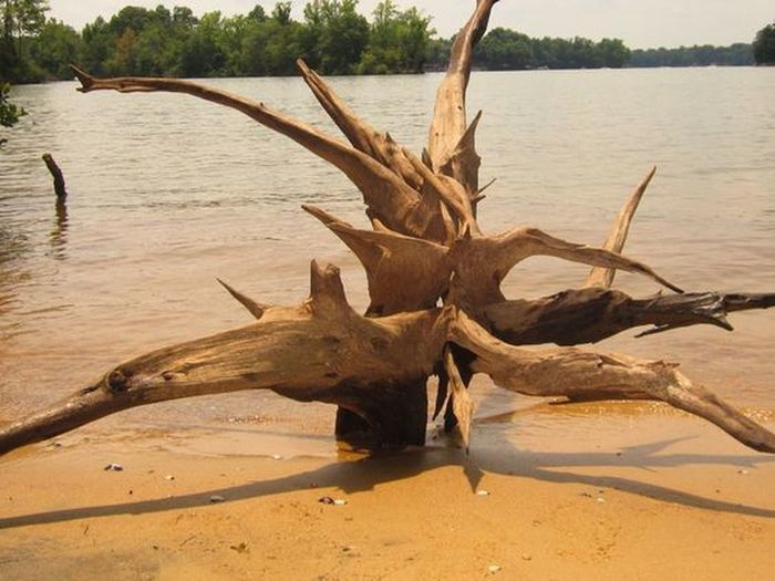Driftwood beauty washed up on the beach. Drift Wood  Lake Norman, NC, USA Nature's Art Antler Beach Beauty In Nature Close-up Day Dead Tree Drift Wood On Beach Driftwood Nature No People Outdoors Roots Roots Of Tree Sand Tree Water