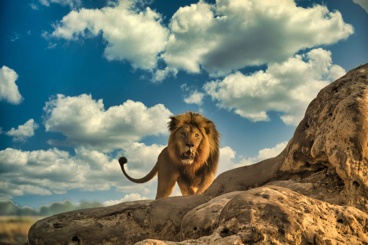Low angle view of lion sitting on rock against sky