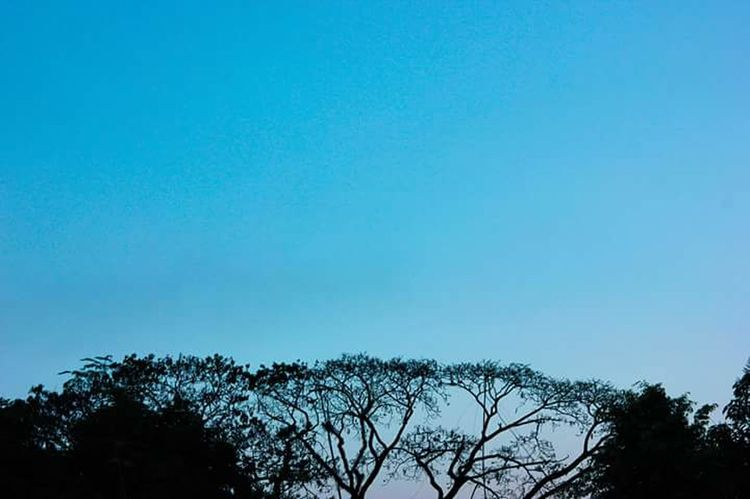 Tree Blue Sky Low Angle View Nature No People Clear Sky Silhouette Outdoors Beauty In Nature Treetop Day