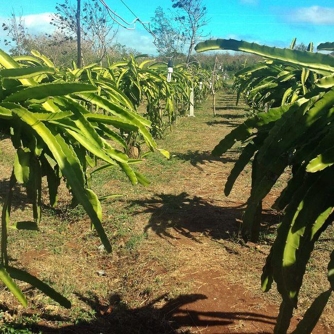 dragon cacti || Travels Pilipinas Nature