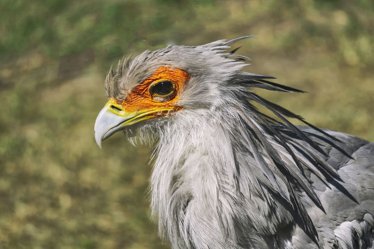 Berlin, Germany, May 29, 2018: Close-Up of Secretary Bird at Tierpark Berlin Germany 🇩🇪 Deutschland Horizontal Tierpark Berlin Zoo Animal Animal Body Part Animal Themes Beak Beauty In Nature Bird Captive Animals Close-up Color Image Feather  Gray Nature No People One Animal Orange Color Outdoors Plumage Secretary Bird Vertebrate Zoological Garden
