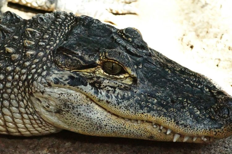 Alligator Colour Of Life 2016 Juni Niklas Maximum Closeness BYOPaper! The Week On EyeEm Perspectives On Nature