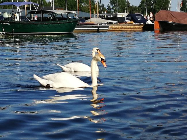 """""""One other love"""" Swan White Color Animals In The Wild Animal Themes One Animal Water Swimming Bird Day Outdoors Nature No People"""