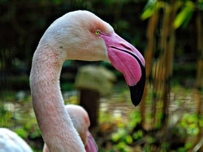 One Animal Bird Flamingo Beak Animals In The Wild Pink Color Focus On Foreground Animal Themes Close-up Animal Wildlife Side View No People Day Outdoors Nature Water Esotic Animals In The Wild Animal Eye Animal Photography