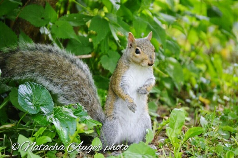 Wildlife Wildlife Photography Squirrel Squirrel Photo Squirrel Friend  First Eyeem Photo Nature écureuils écureuil Animal_collection Animal Love Animal Wildlife Animal Family Animal Portrait Animal Lover EyeEm Awards 2016 2016 EyeEm Awards Animal Themes Animals In The Wild Cute Cute Animals Cute Animal Cute Animals Lovers Cute♡ Cute Squirrel
