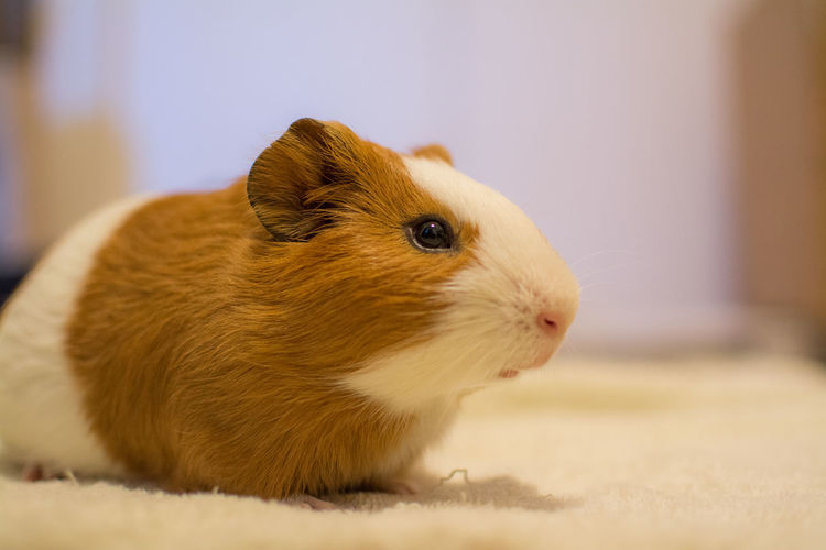 Guinea pig Cute Pets Guinea Pig Animal Themes Close-up Cute Domestic Animals Indoors  No People One Animal Pets