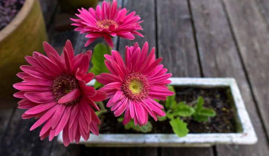 Close-up of potted pink gerbera daisies blooming on porch