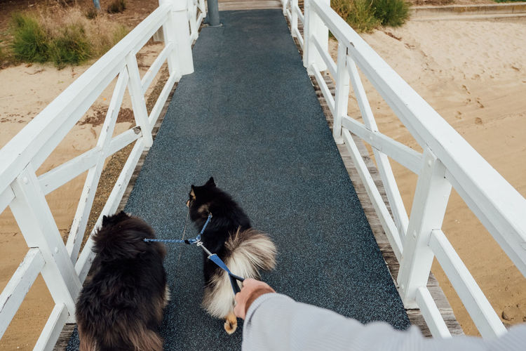 Finnish Lapphund dogs on a walk. Animal Themes Day Dock Dog Domestic Animals Finnish Lapphund Fluffy Health Landscape Leash Mammal Man Outdoors Park People Pet Pets Real People Rear View Togetherness Walk Walking