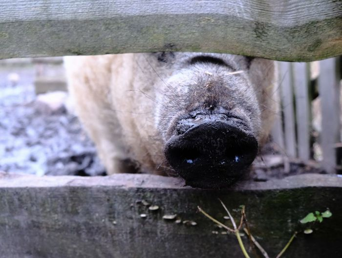Agriculture Pig Nose Pigs Pork Sniff Sniffing Around Animal Head  Animal Nose Animal Themes Farming Farming Animals Meat One Animal Pig Pig Snout Pigs Nose Smelling Sniffing Sniffing Pig Sow Swine Nose Swine Snout Wool Wool Pig Woolpig
