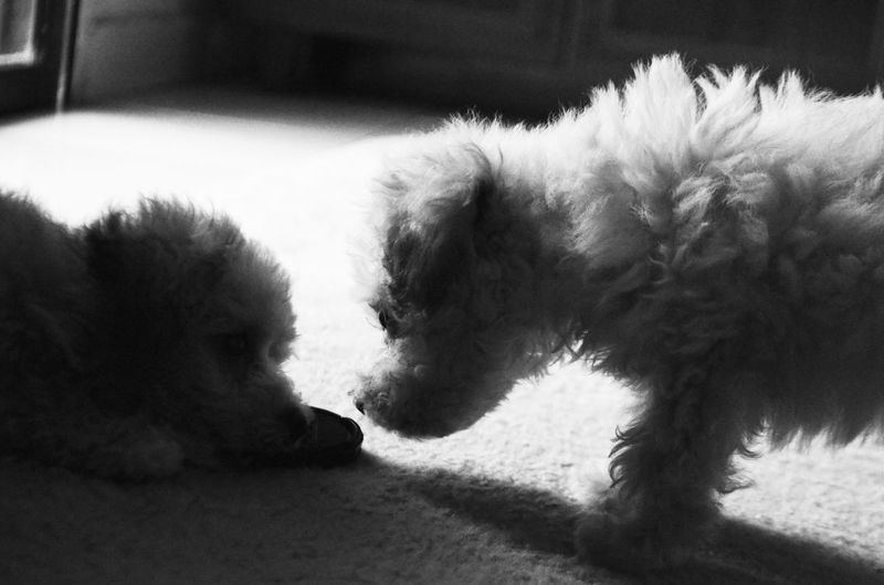 I'm here for you.. Puppies Toy Poodle  My Darlings Perfect Moment Captured